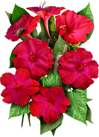 Red Four O' Clock Seeds (Mirabilis jalapa)