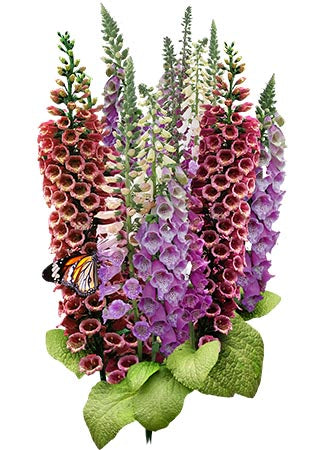 Excelsior Mixture Foxglove Seeds (Digitalis purpurea)