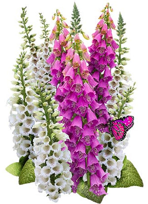 Foxglove Wildflower 5000 Seeds