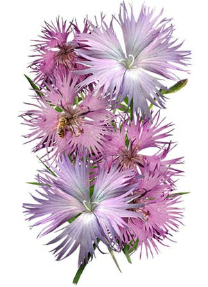 Fringed Pinks Wildflower Seeds (Dianthus superbus)
