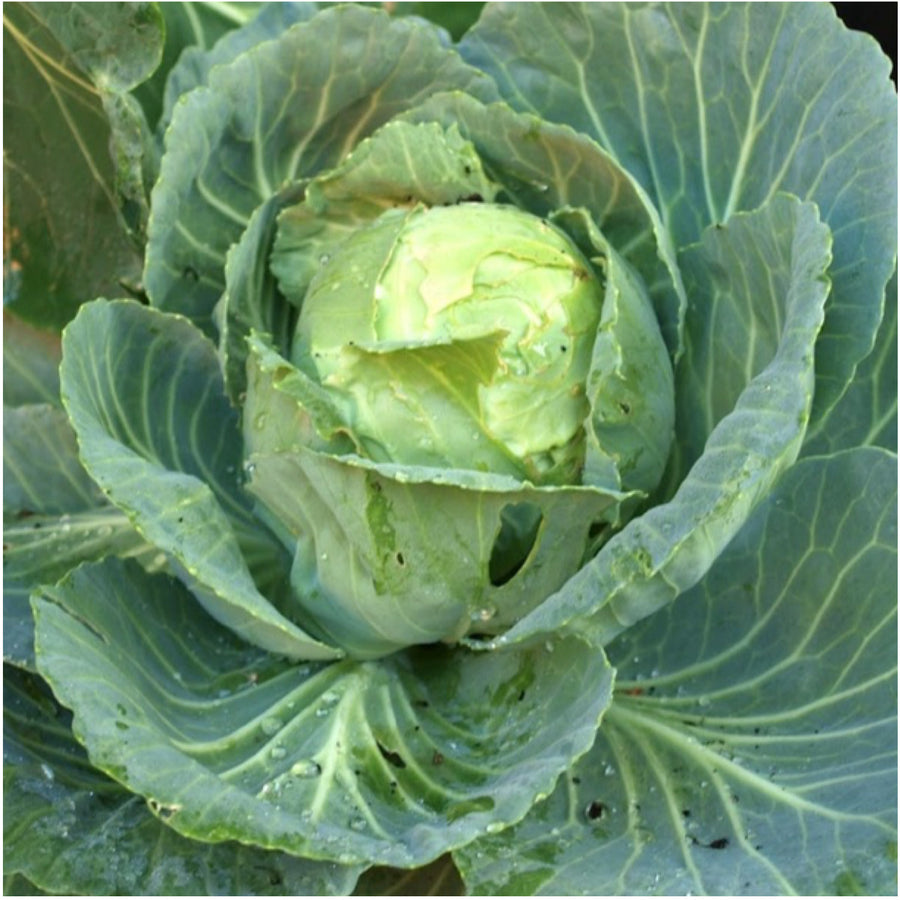 Golden Acre Cabbage