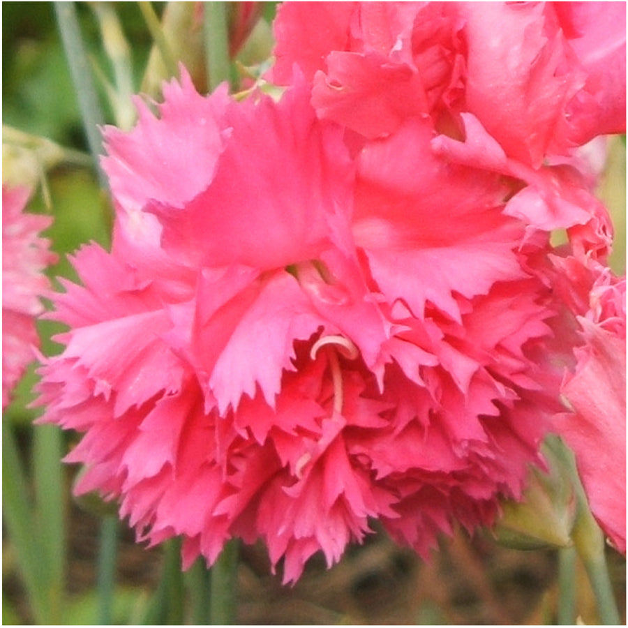 grenadin rose carnation