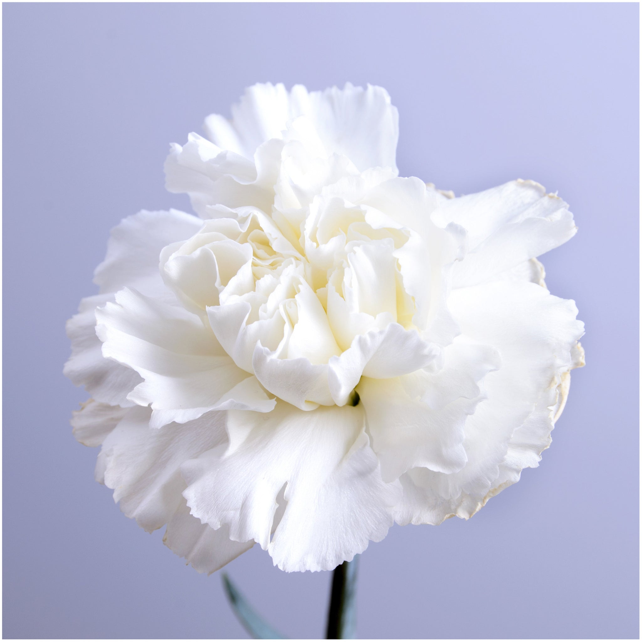 Grenadin White Carnation Seeds (Dianthus caryophyllus) - Seed Needs