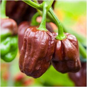 chocolate habanero