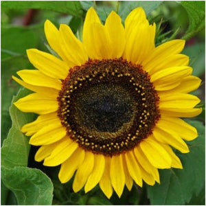 Henry Wilde sunflower