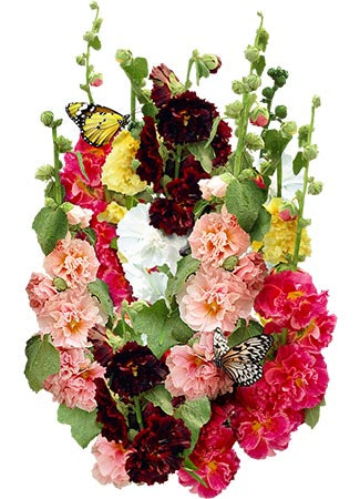 Carnival Hollyhock Mixture (Alcea rosea)