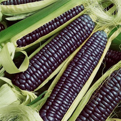 Blue Hopi Ornamental Corn Seeds (Zea mays)