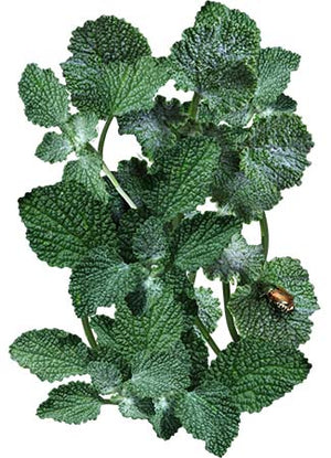 Horehound Herb Seeds (Marrubium vulgare)