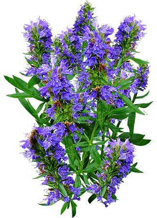 Hyssop Herb Seeds (Hyssopus officinalis)