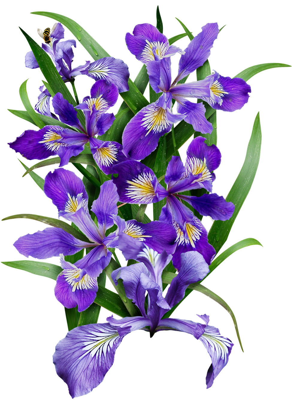 Wild Blue Iris Flower Seeds Iris Missouriensis Seed Needs Llc