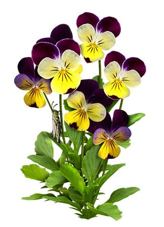 Johnny Jump Up Seeds, Helen Mount (Viola cornuta)