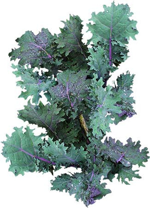 Red Russian Kale Seeds (Brassica napus)