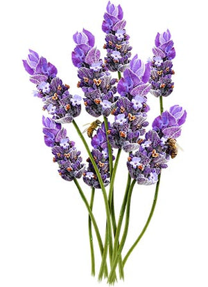 "Vera Lavender Seeds ""True English"" (Lavandula angustifolia)"