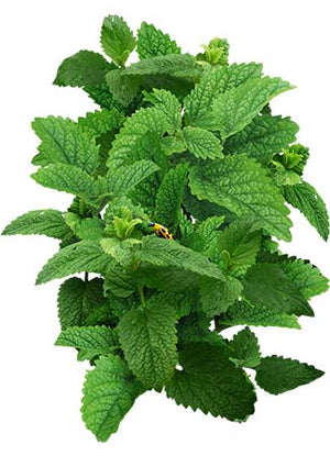 Lemon Balm Herb Seeds (Melissa officinalis)