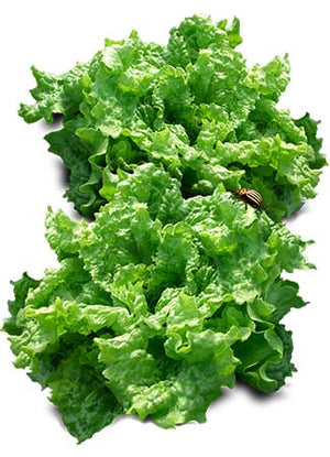Black Seeded Simpson Lettuce Seeds (Lactuca sativa)