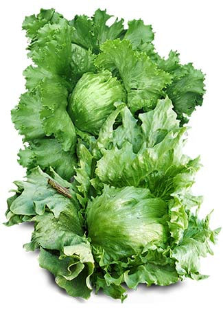 Great Lakes 118 Lettuce Seeds (Lactuca sativa)
