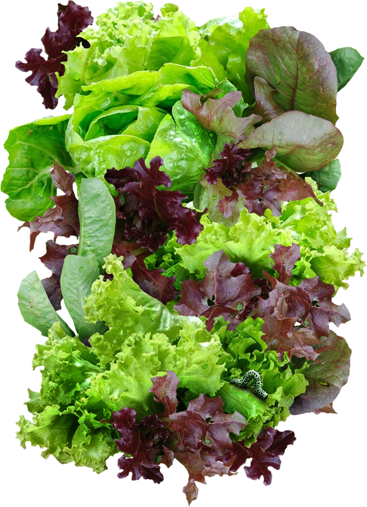 mesclun lettuce seeds for planting