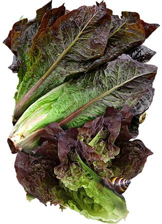 Red Romaine Lettuce Seeds (Lactuca sativa)