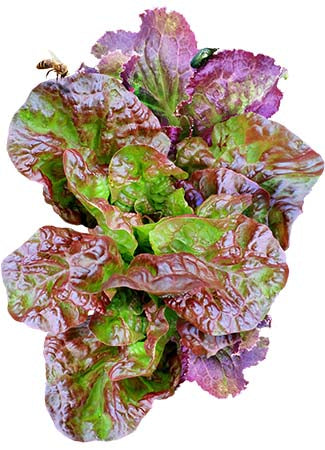Ruby Red Lettuce Seeds (Lactuca sativa)