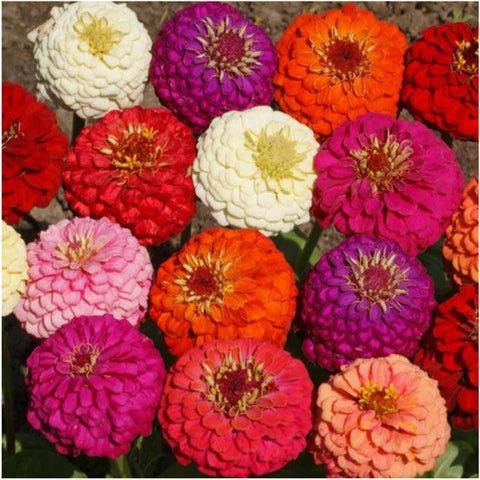 lilliput zinnia mixture