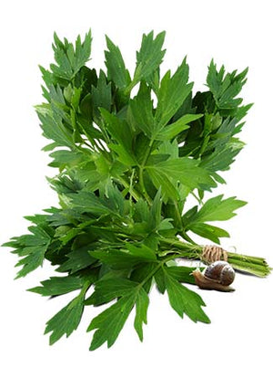 Lovage Herb Seeds (Levisticum officinale)