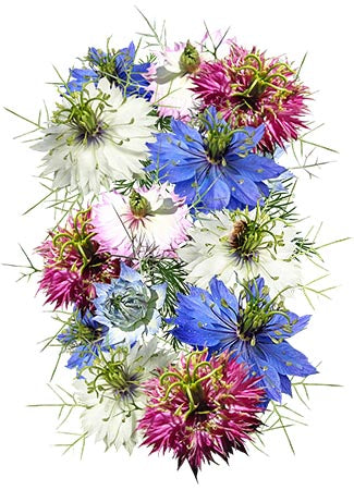 Persian Jewels Love In A Mist Seeds (Nigella damascena)
