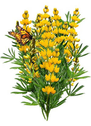 Annual Yellow Lupine Seeds