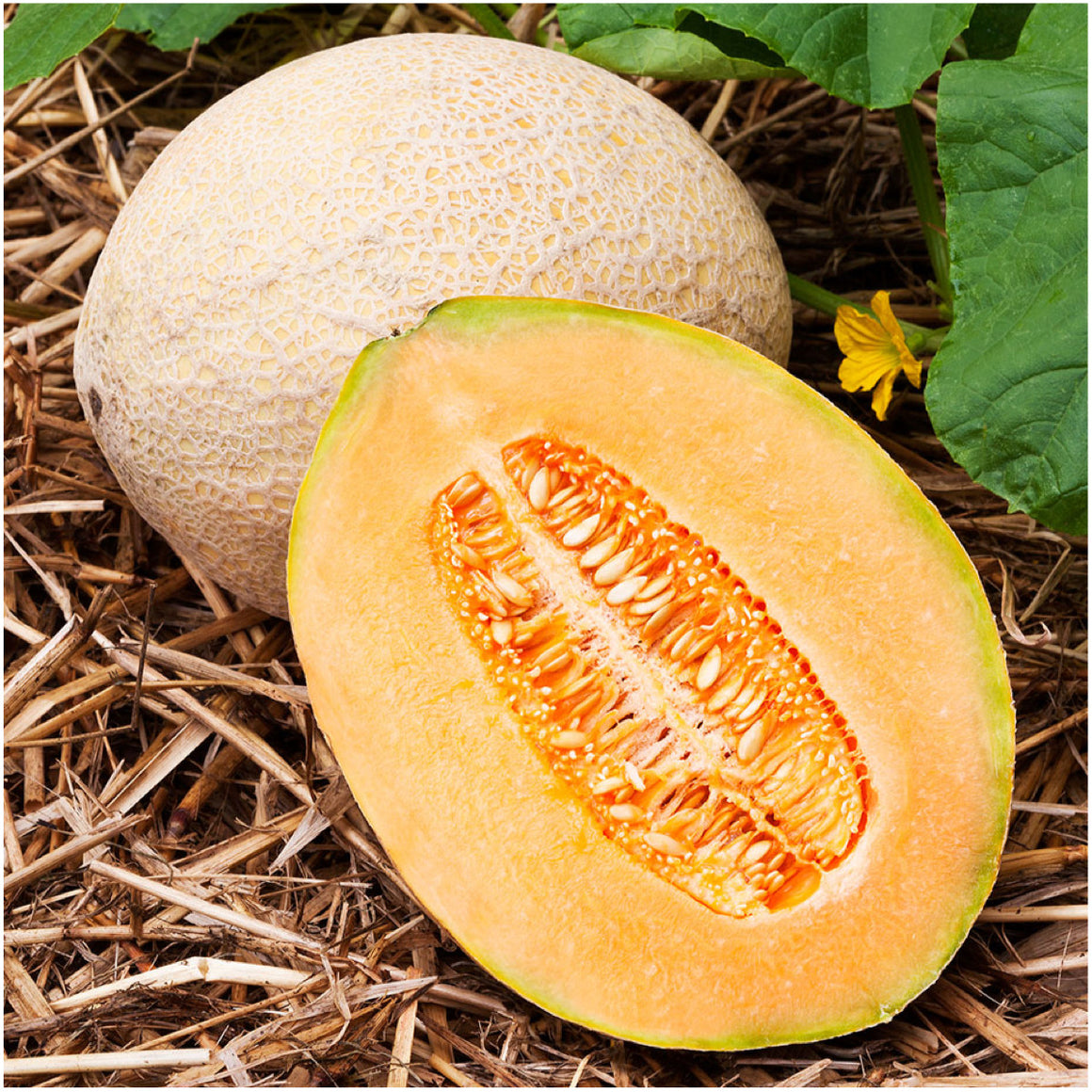 Hales Best Melon
