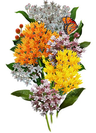 Autumn Blaze Milkweed Seeds