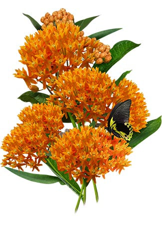 Butterfly Milkweed Seeds (Asclepias tuberosa)