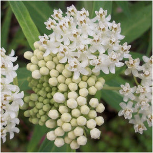White Swamp Milkweed