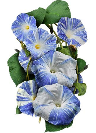 Flying Saucers Morning Glory Seeds (Ipomoea purpurea)