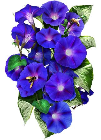 Grandpa Ott Morning Glory Seeds (Ipomoea purpurea)