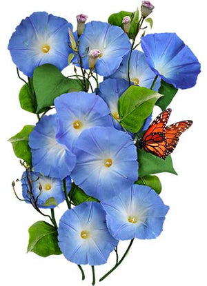 Heavenly Blue Morning Glory (Ipomoea tricolor)