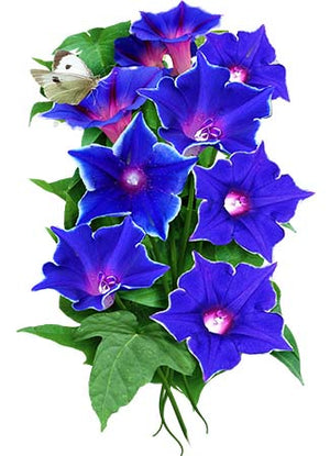 Blue Picotee Morning Glory Seeds (Ipomoea nil)