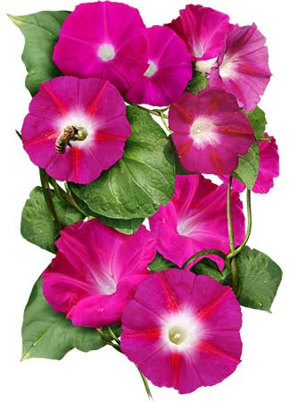 Scarlet O'Hara Morning Glory Seeds (Ipomoea nil)