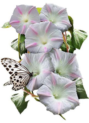 Shiva Morning Glory Seeds (Ipomoea purpurea)