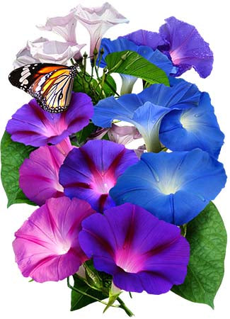Tall Mixed Morning Glory Seeds (Ipomoea purpurea)