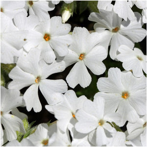 Mountain phlox