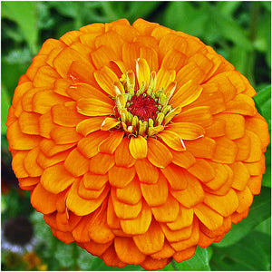 Orange King Zinnia Seeds
