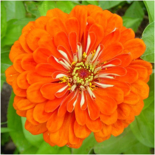 orange king zinnia