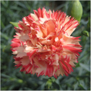 Orange Sherbet Carnation