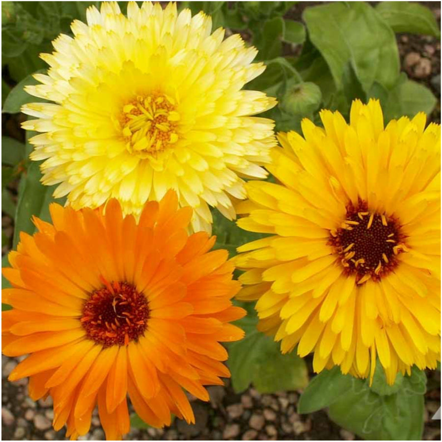 Calendula Mix Seeds