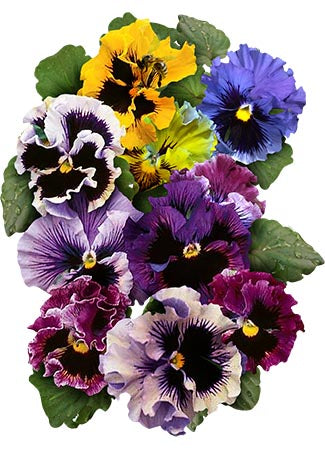 Pansy Seeds, Frizzle Sizzle Mixture (Viola x wittrockiana)
