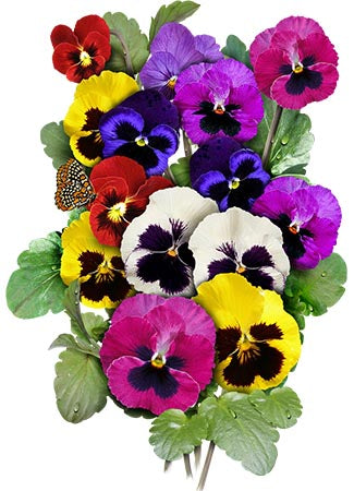 Pansy Seeds, Swiss Giants Mixture (Viola wittrockiana)