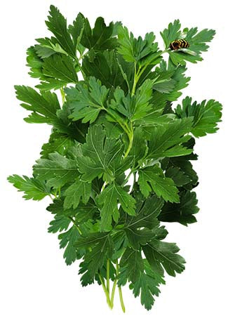 Italian Flat Leaf Parsley Seeds (Petroselinum crispum)