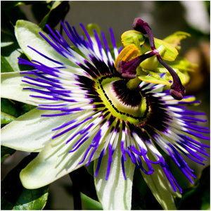 Royal Blue Passion Flower Seeds (Passiflora caerulea)