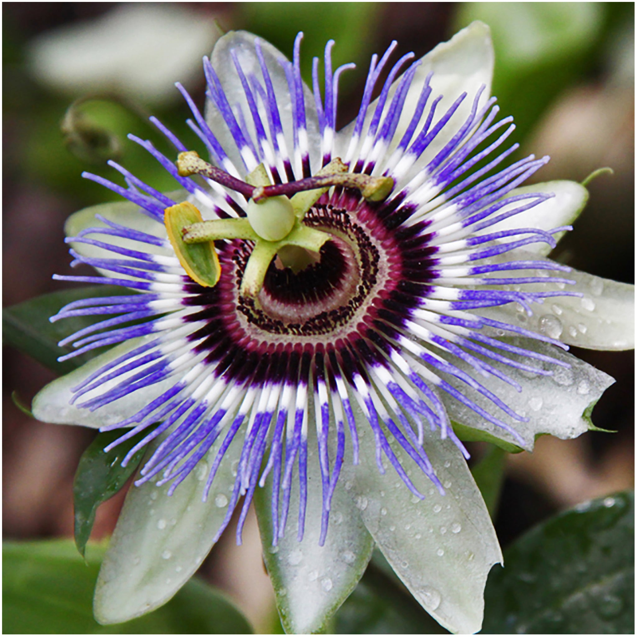 Royal Blue Passion Flower Seeds Passiflora Caerulea