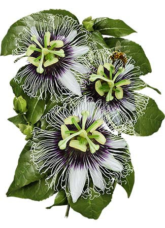 Purple Passion Flower fruit