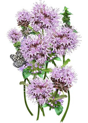 pennyroyal seeds for planting
